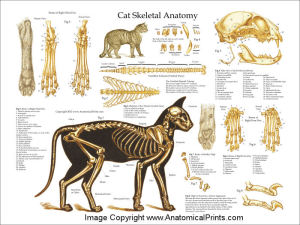 CatAnatomySkeletonWhite1824