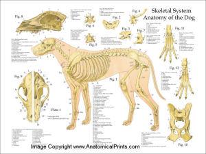 DogAnatomyPoster5Skeleton1824