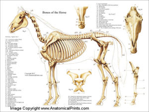 HorseAnatomyBones2012